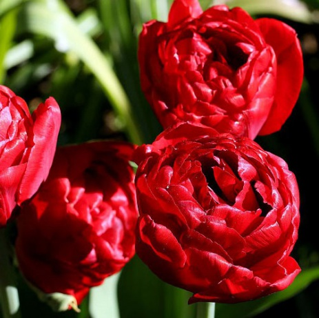 Ред бейби долл тюльпан